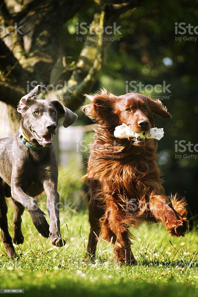 irish setter dog and weimaraner puppy running royalty-free stock photo