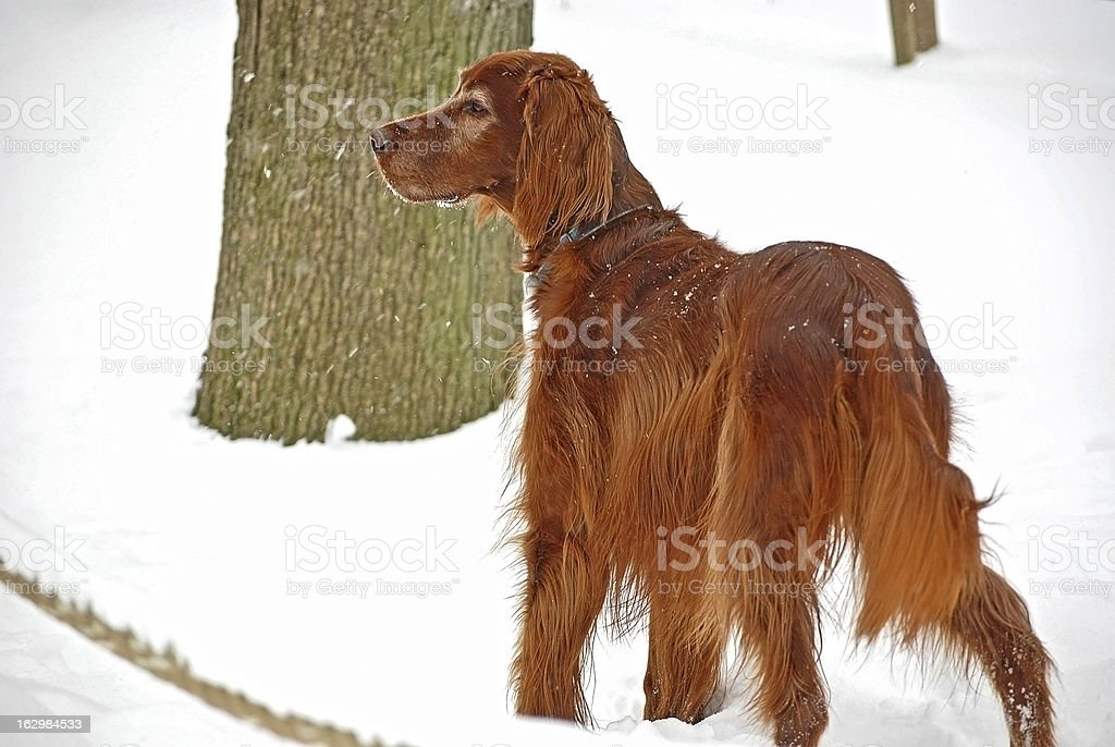 Irish Setter in snow royalty-free stock photo