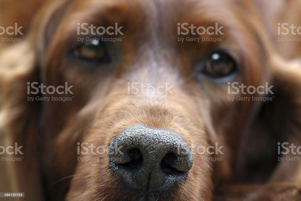 Irish Setter nose royalty-free stock photo