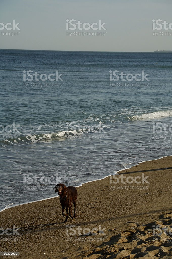 Irish Setter on the Beach royalty-free stock photo