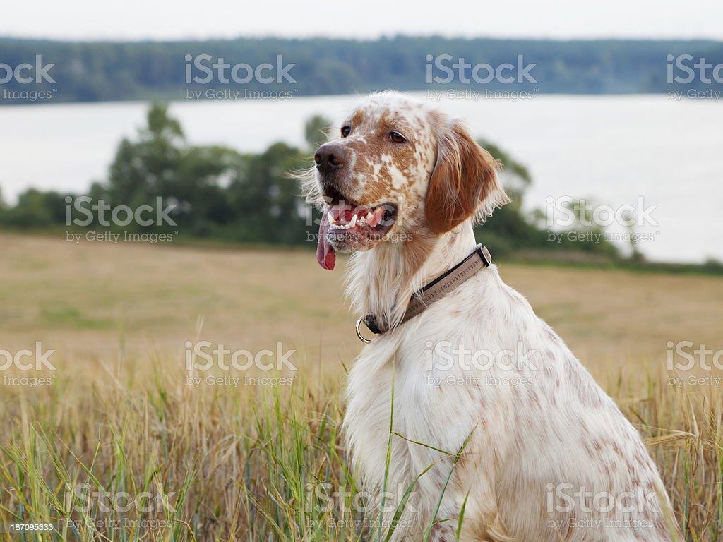 Irish setter stock photo
