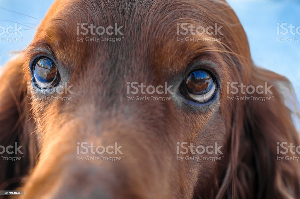 Irish Setter. royalty-free stock photo