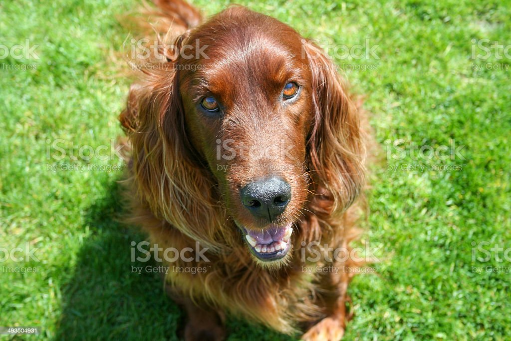 Irish Setter royalty-free stock photo