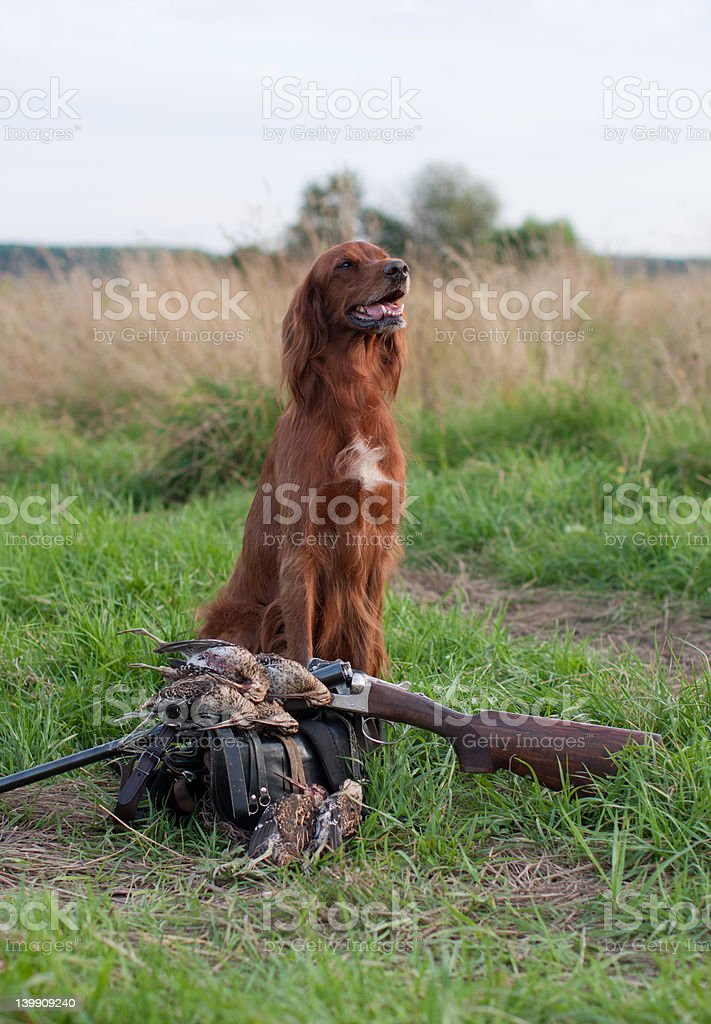 irish setter with trophies royalty-free stock photo
