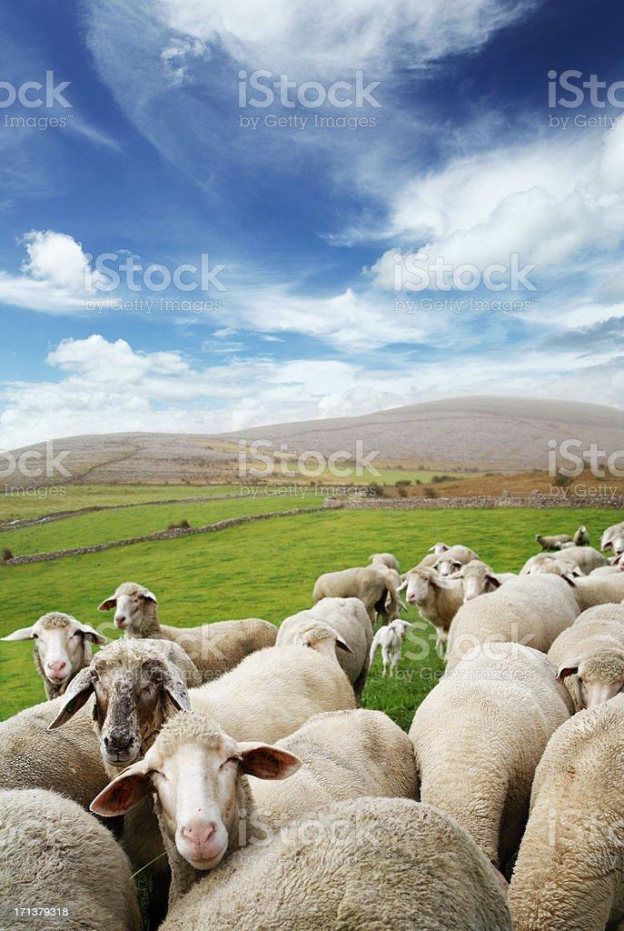 Irish sheep stock photo
