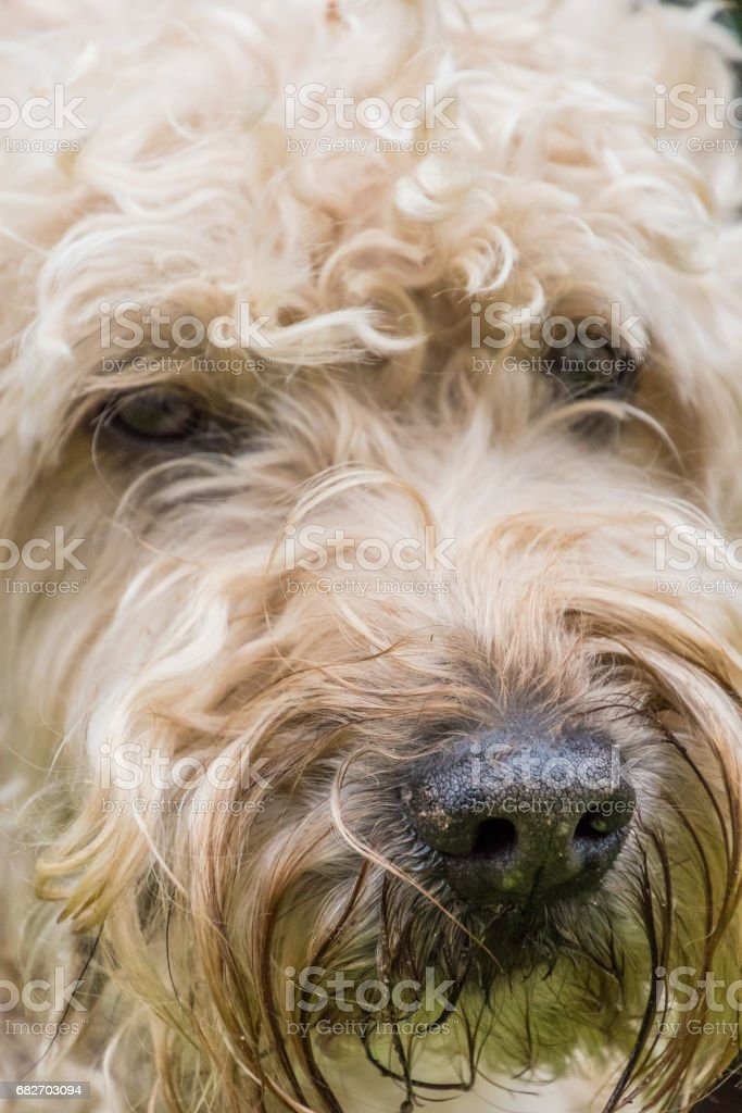 Irish soft coated wheaten terrier white and brown fur dog portrait stock photo