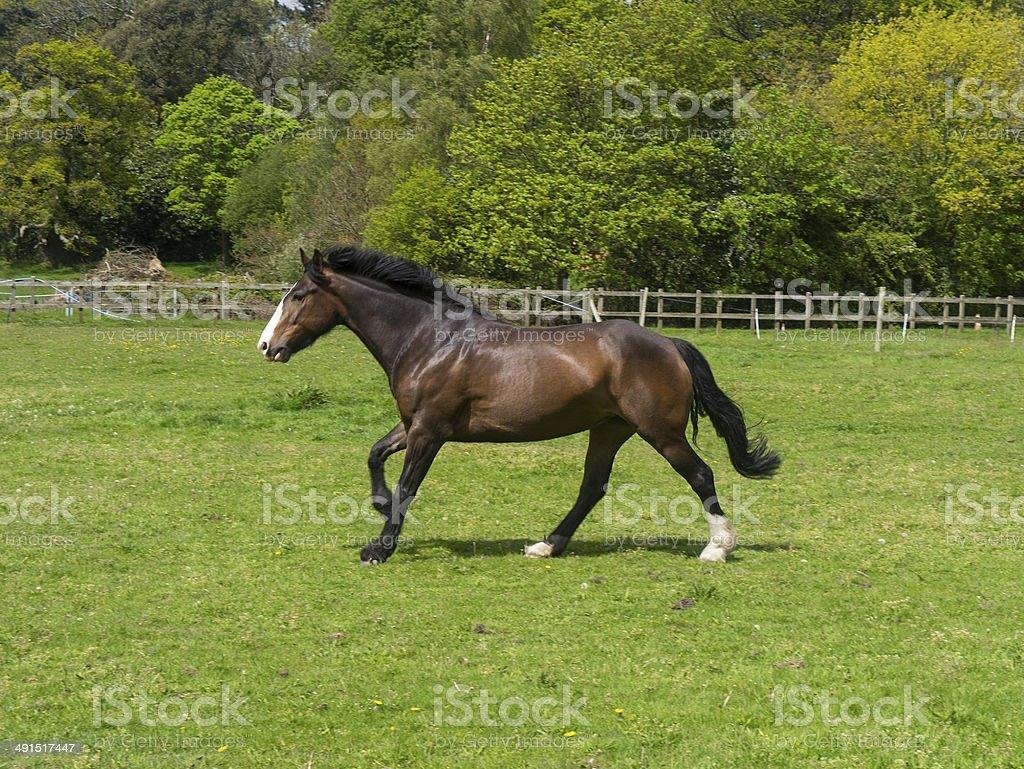 Irish Sports Horse Cantering royalty-free stock photo