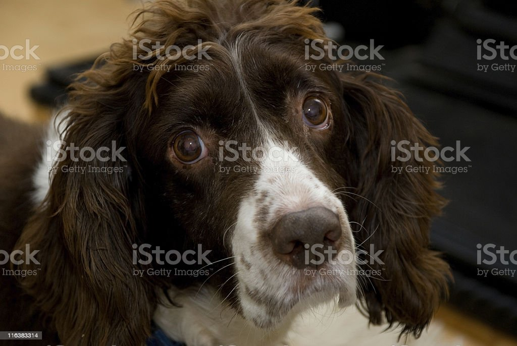 Irish Springer Spaniel stock photo