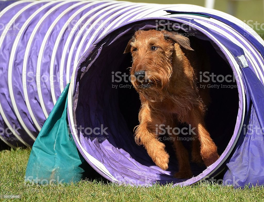 Irish Terrier at a Dog Agility Trial stock photo