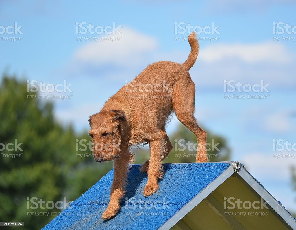 Irish Terrier at Dog Agility Trial stock photo