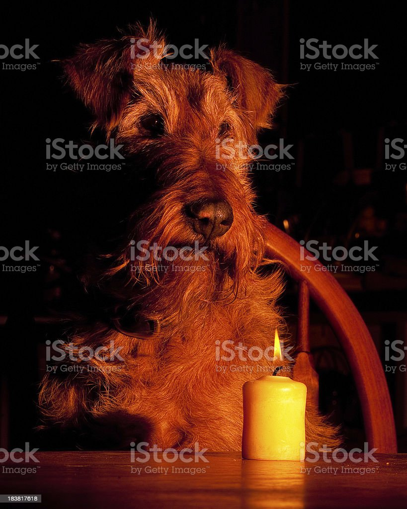 Irish Terrier by Candle Light stock photo