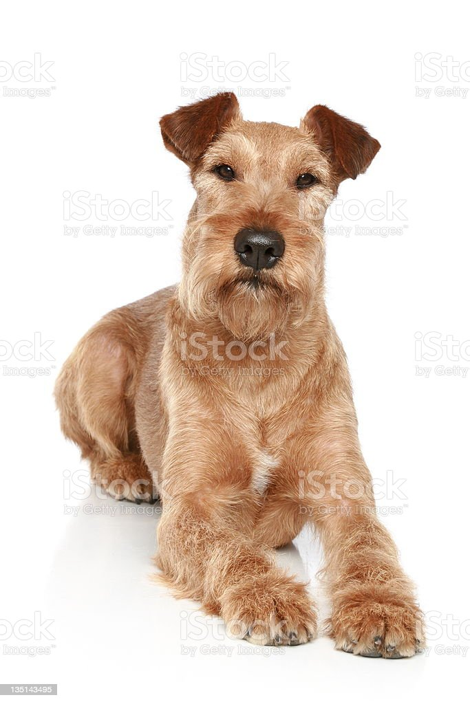 Irish terrier lying on a white background stock photo