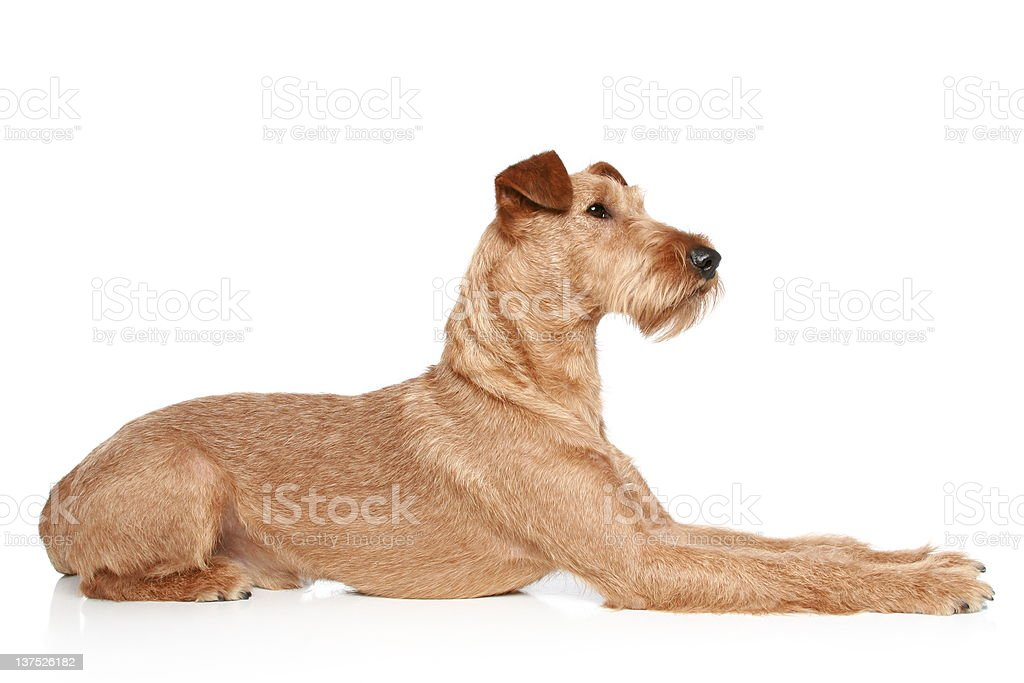 Irish terrier lying on a white background royalty-free stock photo