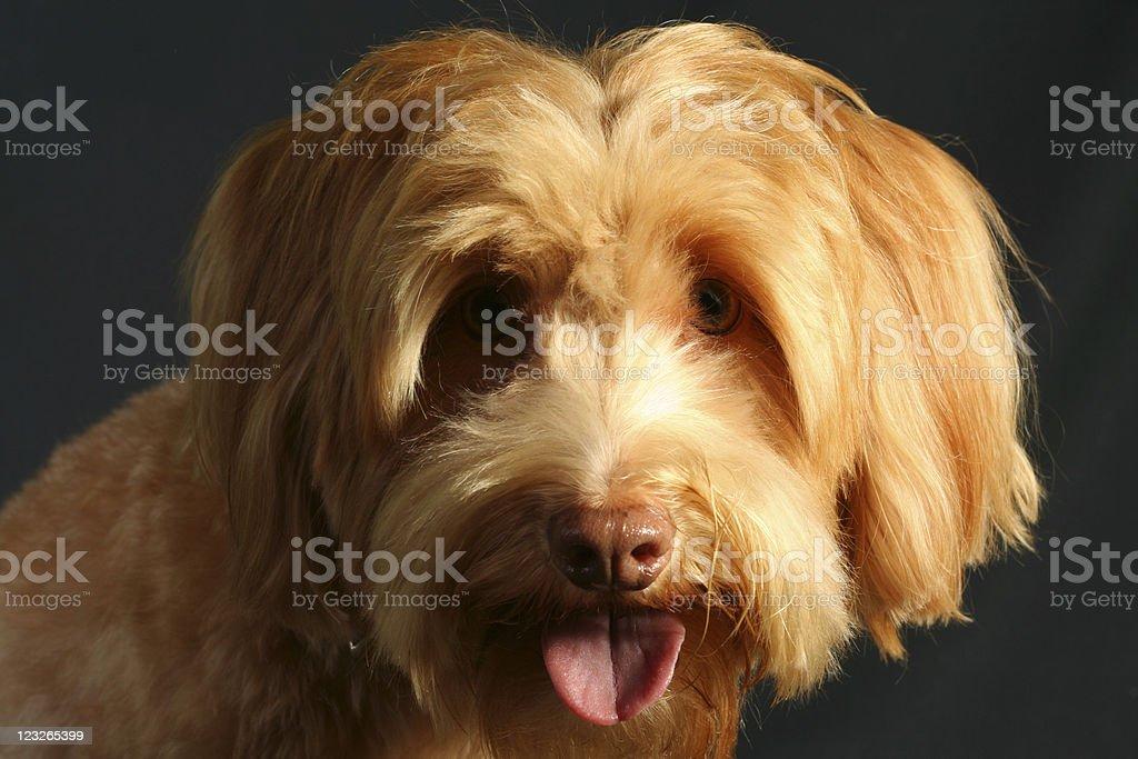 Irish Terrier stock photo