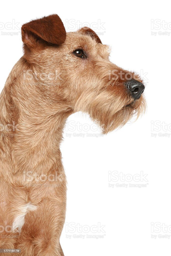 Irish terrier royalty-free stock photo
