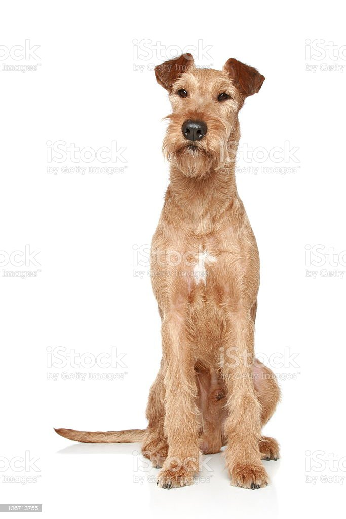 Irish terrier sits on a white background stock photo