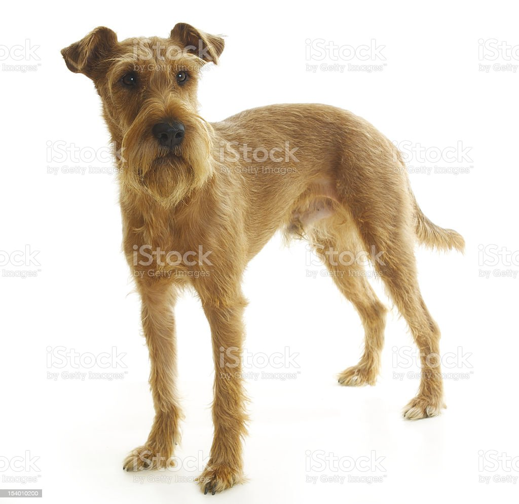 Irish terrier standing on a white background and looking stock photo