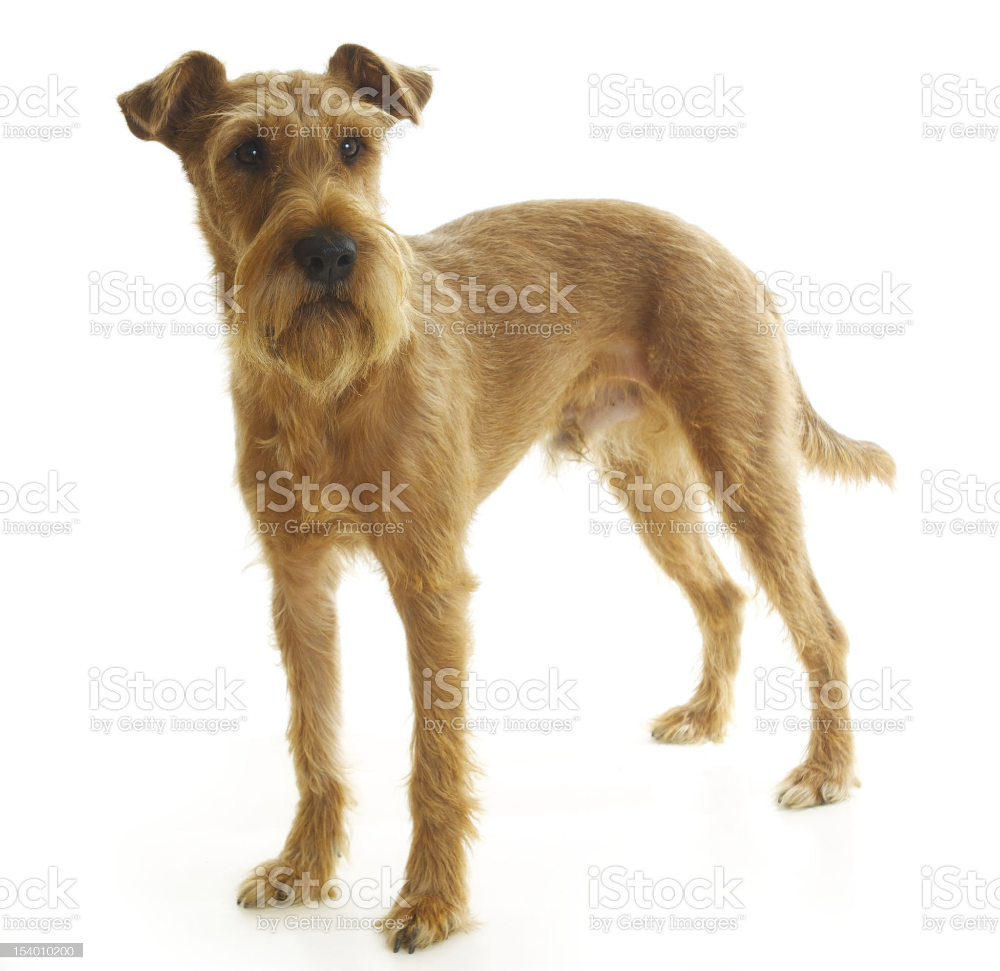 Irish terrier standing on a white background and looking royalty-free stock photo