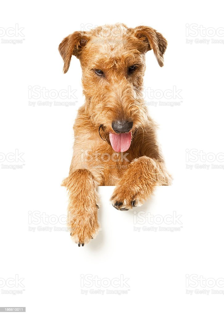 Irish Terrier with Banner royalty-free stock photo