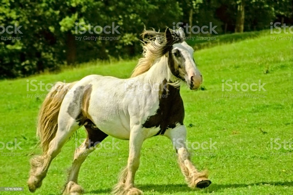 Irish Tinker horse galloping on pasture stock photo