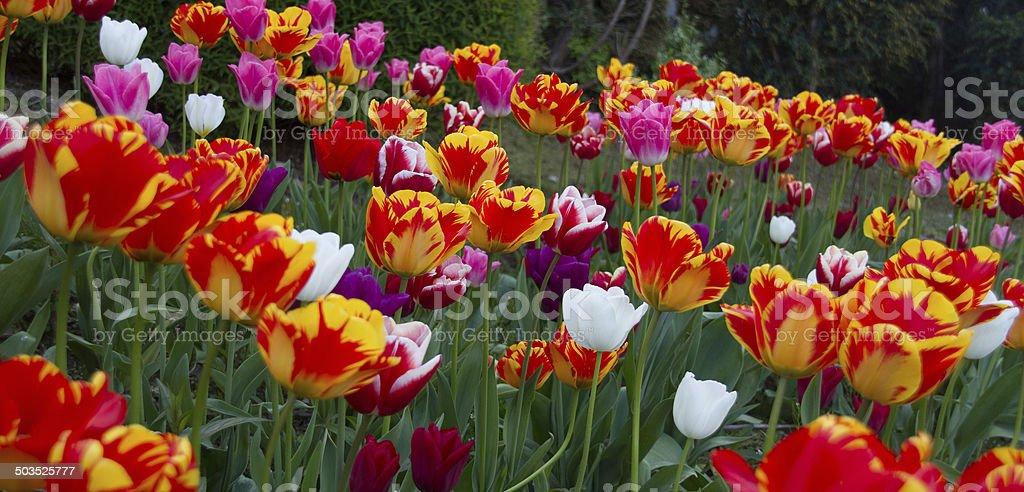 Irish Tulips stock photo