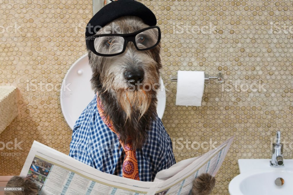 Irish wolfhound dog in a toilet stock photo