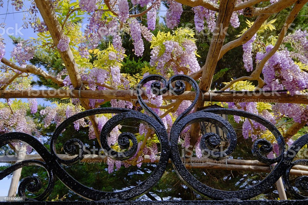 Iron gate detail with wisteria flowers stock photo