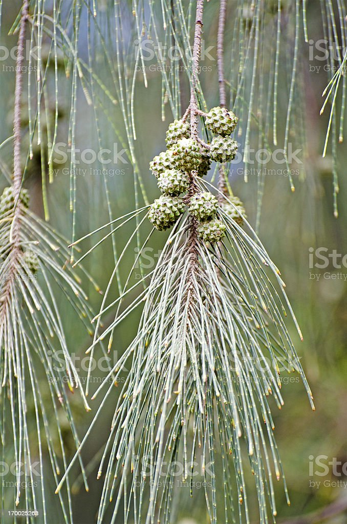 ironwood Casuarina equisetifolia stock photo
