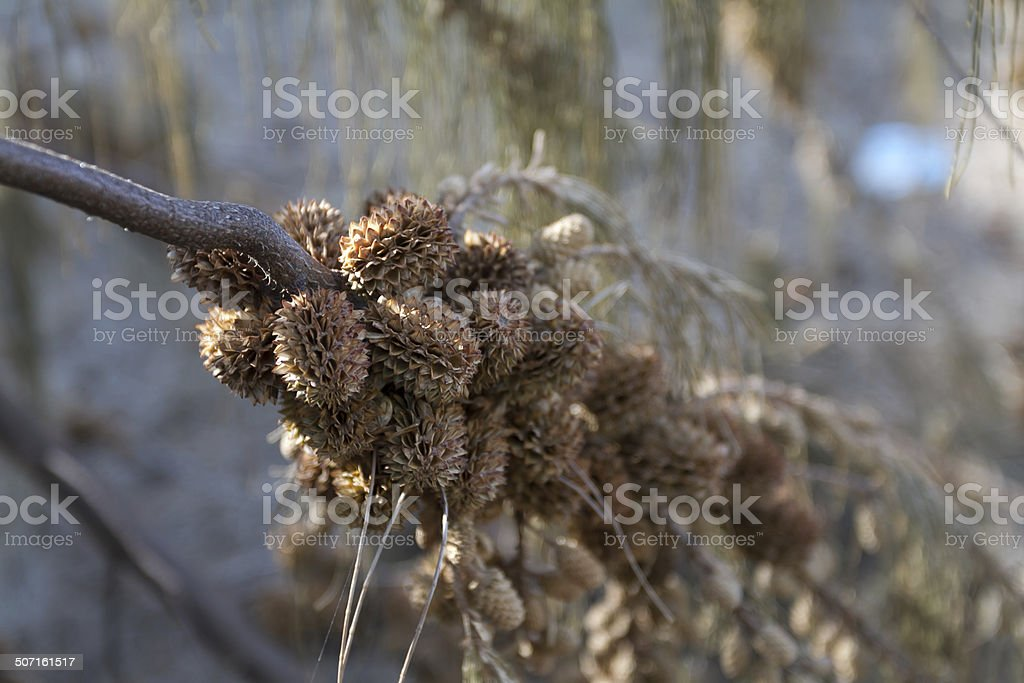 Ironwood fruit stock photo