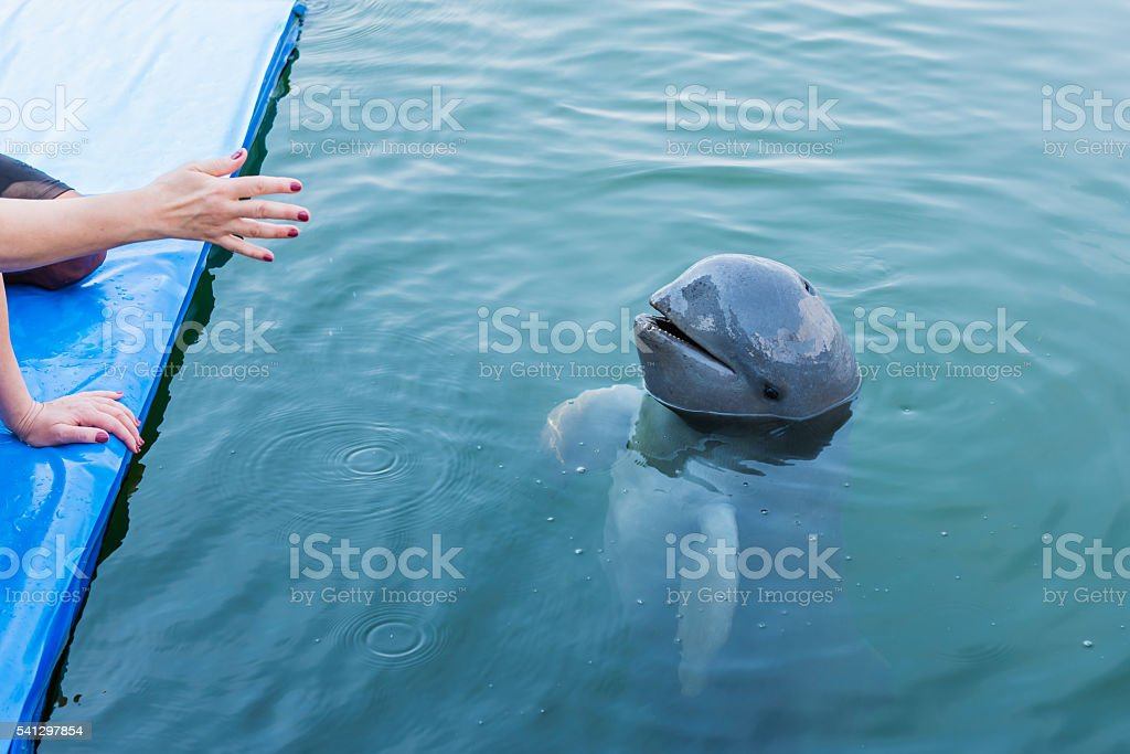 Irrawaddy dolphin floating in the water. stock photo