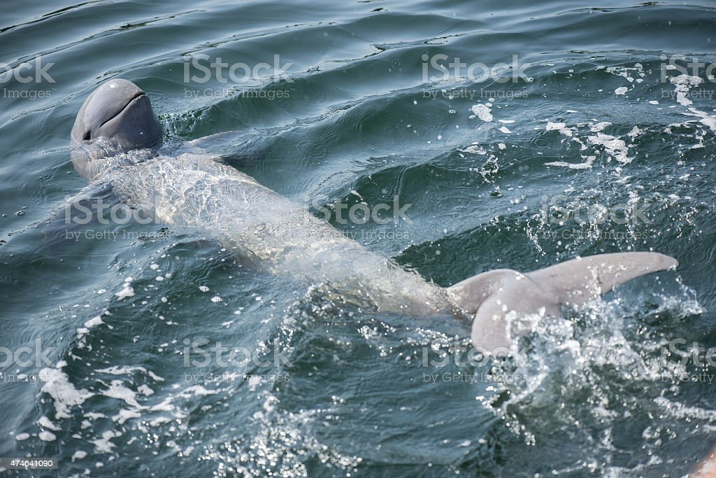 Irrawaddy dolphin swimming in ocean. stock photo