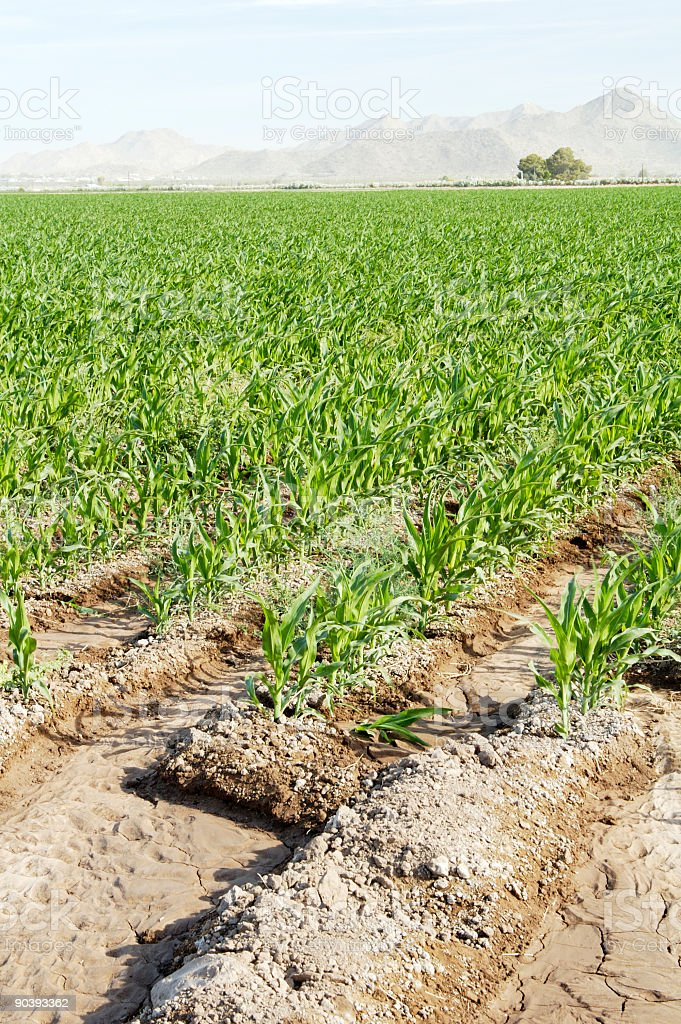 Irrigated Corn 4 royalty-free stock photo