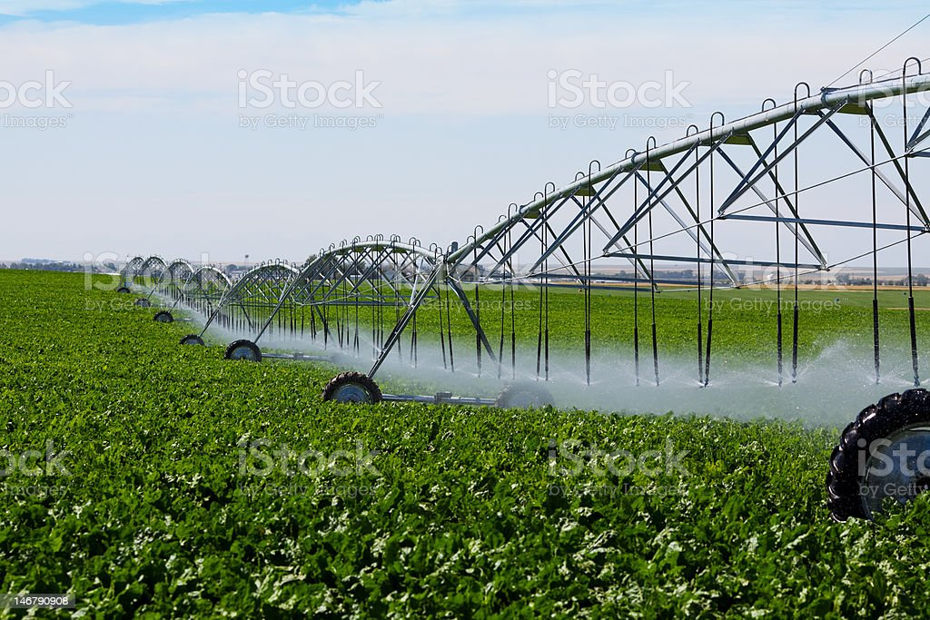 Irrigated Turnip Field royalty-free stock photo