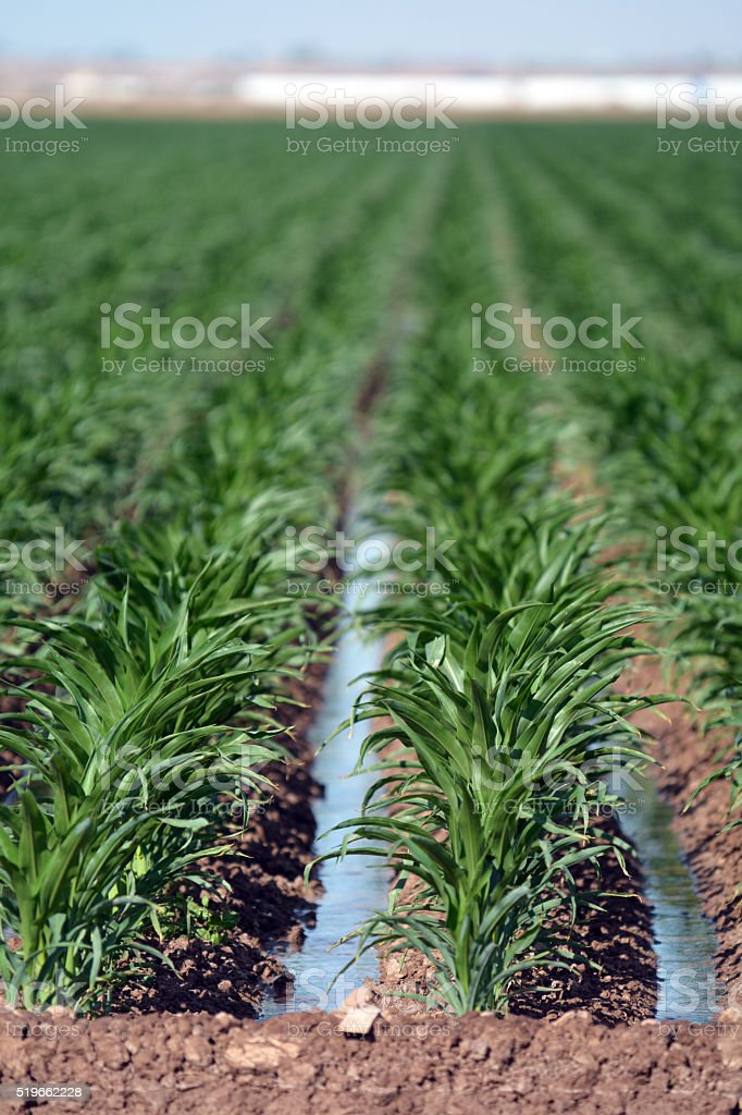 Irrigating Rows of Corn stock photo