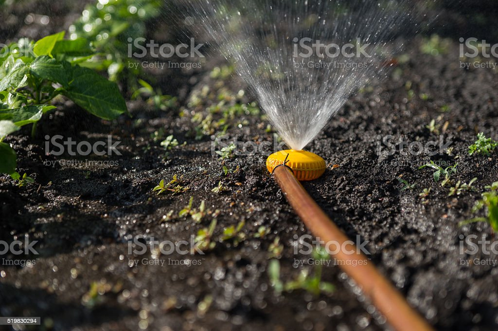 Irrigating using a hose and sprinkler stock photo