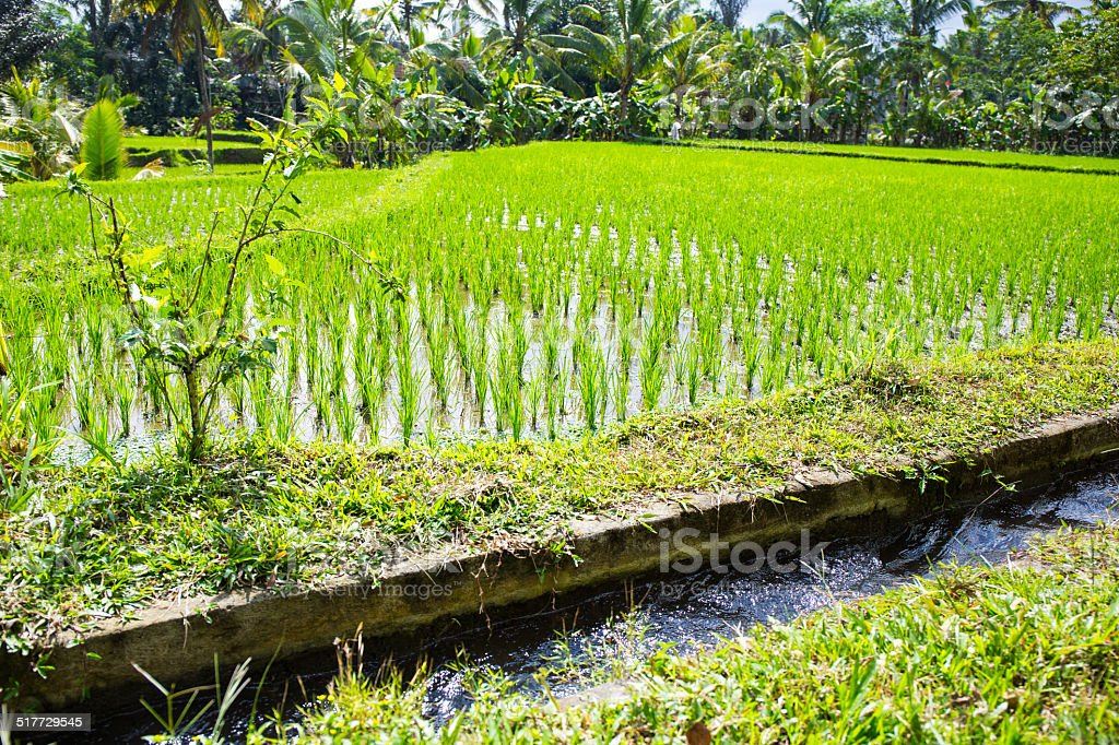 Irrigation channel and green rice field stock photo