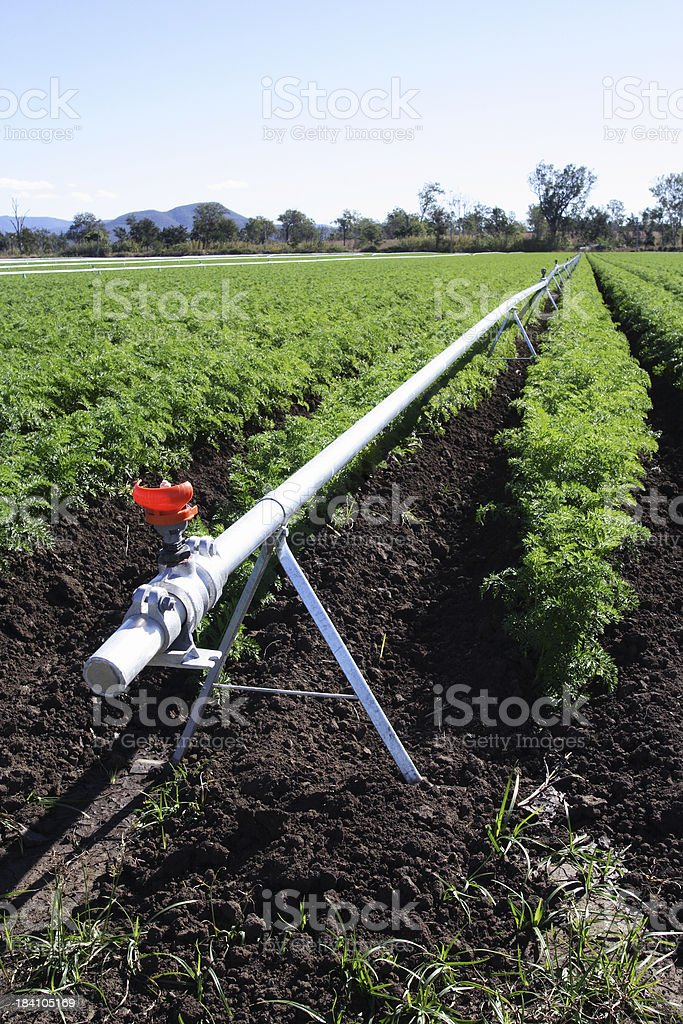 irrigation equipment on carrot crop stock photo