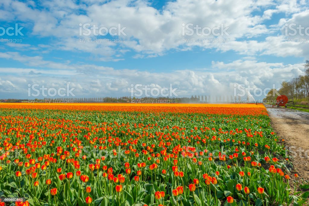 Irrigation of a field with tulips in spring stock photo