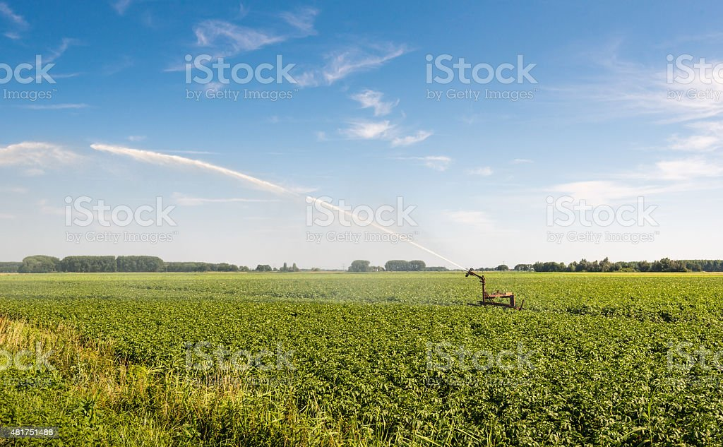 Irrigation of a potato field in summer heat stock photo