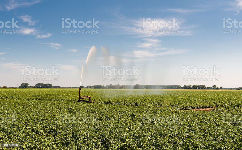 Irrigation of a potato field in summertime stock photo
