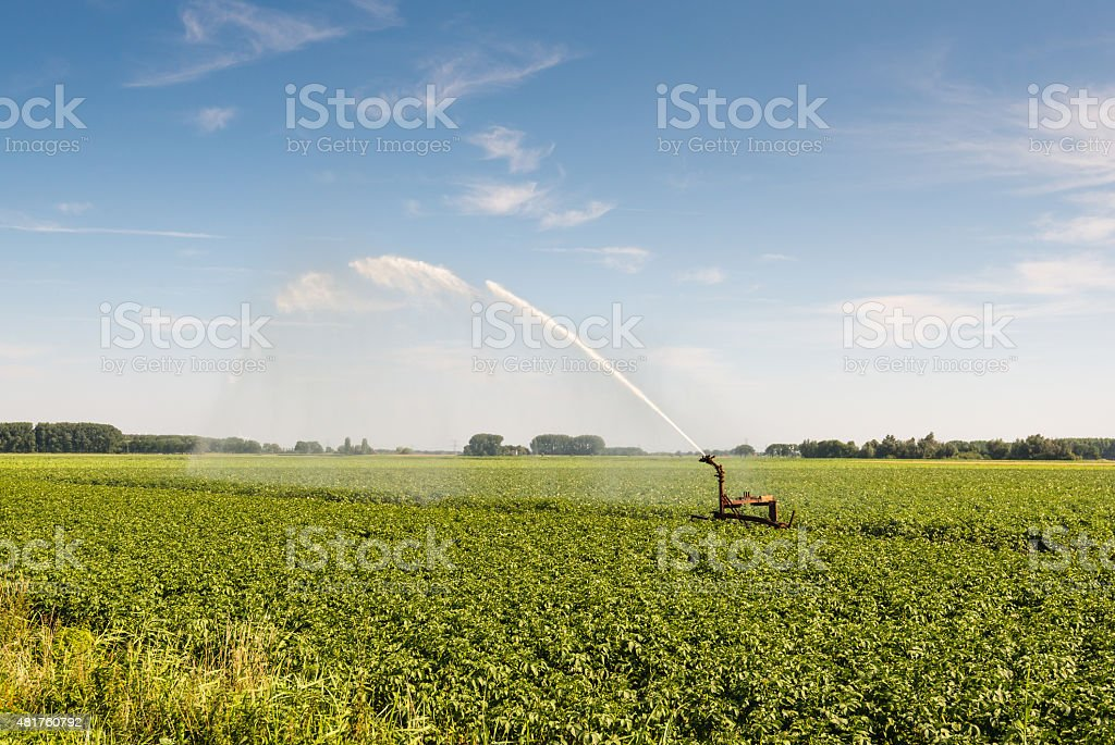 Irrigation of a potato field in the dry summer season stock photo