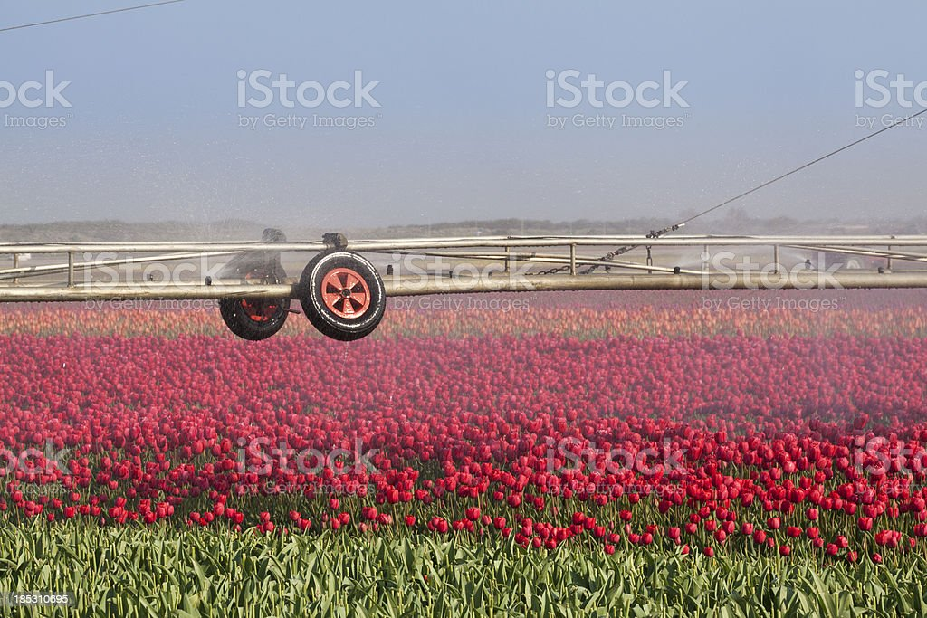 Irrigation of a tulip field royalty-free stock photo