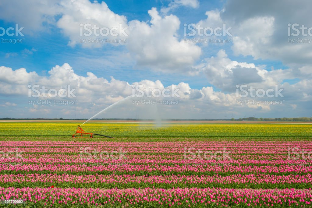 Irrigation of field with tulips in spring stock photo