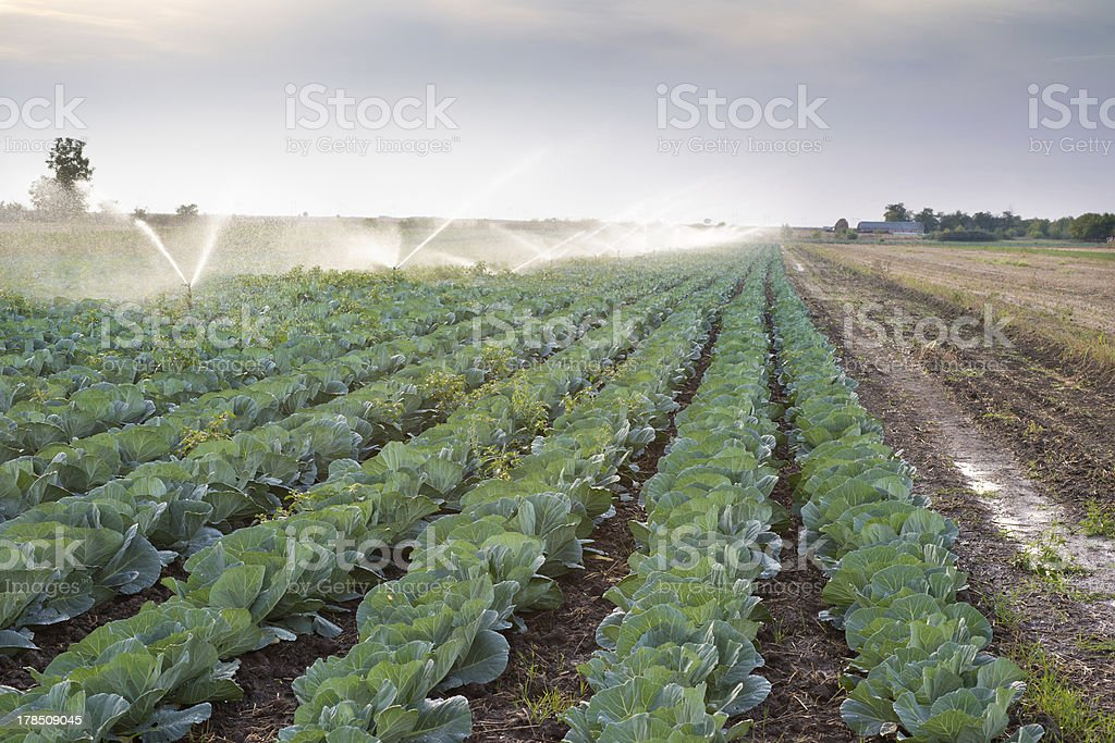 irrigation of vegetables stock photo