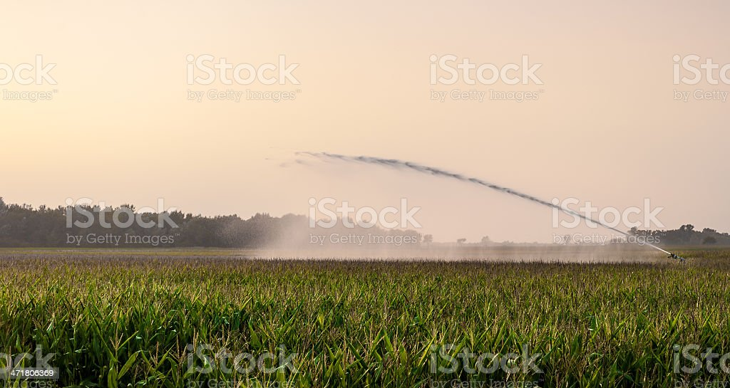 irrigation on corn field royalty-free stock photo