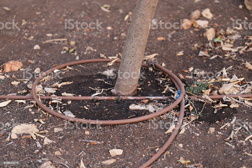 Irrigation Pipe surrounding a Tree Trunk. stock photo