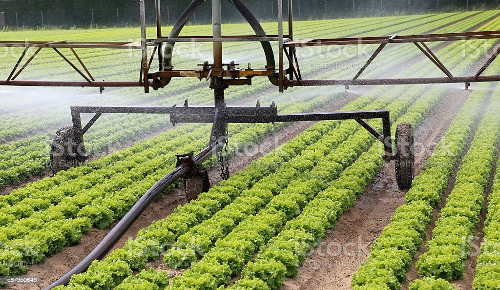irrigation system of a lettuce field in summer stock photo