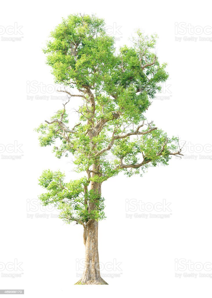 Irvingia malayana also known as Wild Almond stock photo