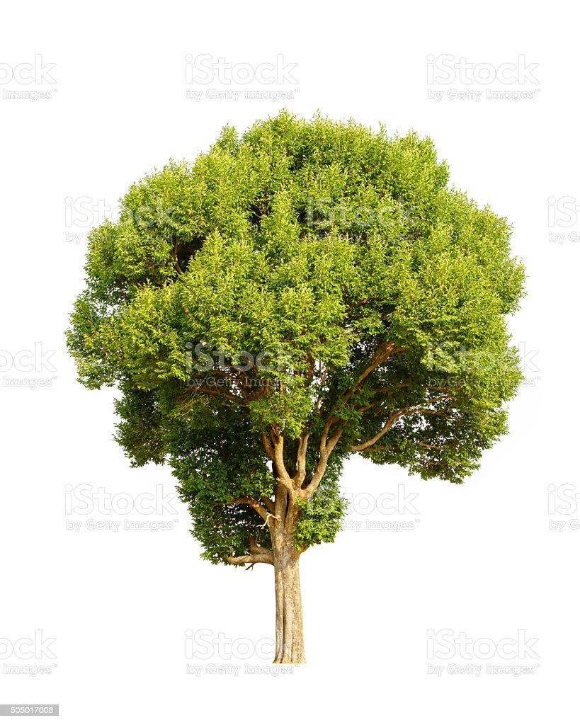 Irvingia malayana also known as Wild Almond, tropical tree stock photo