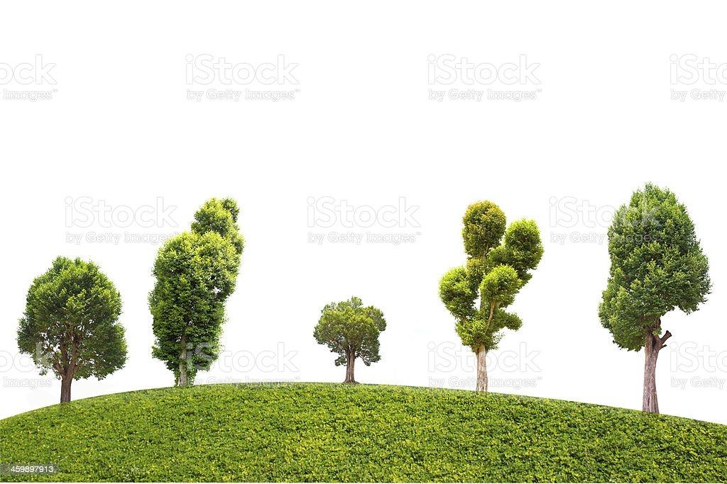 Irvingia malayana tree isolated on green grass stock photo